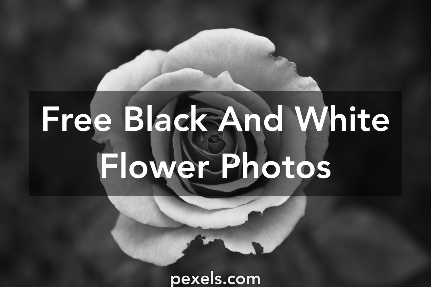 1000 Engaging Black And White Flower Photos Pexels Free Stock