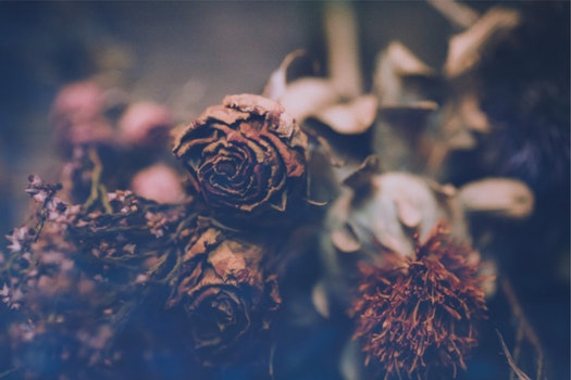 Free stock photo of dry, vintage, flower, rose