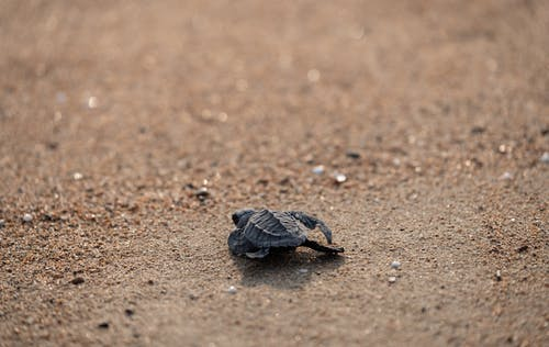 From above of tiny wild turtle crawling along sandy beach towards sea at daytime