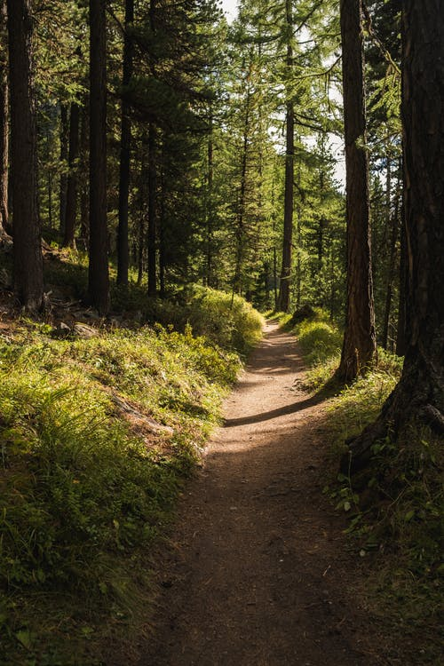 Empty pathway among coniferous tall trees and green grass growing in dense forest in sunny day