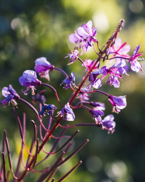 Bright delicate flowers of blooming Ivan tea plant growing against blurred green nature