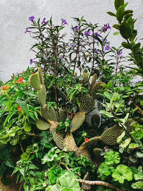 Green Cactus With Purple Flowers