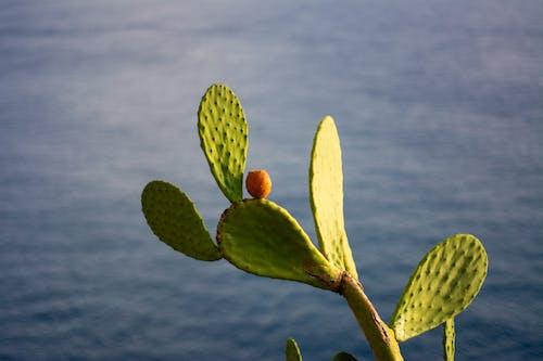 Free stock photo of cactus, fruit, ocean