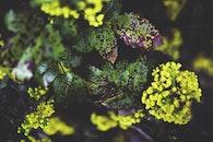 flowers, plant, Oregon grape