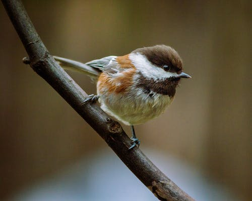 Close-Up Shot of a Chestnut-Backed Chickadee Perched on a Twig