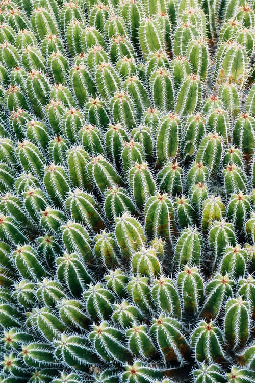 From above of green cacti growing on ground with blossoming flowers and spikes