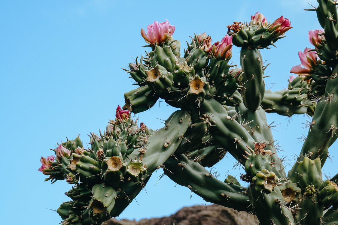 Blooming cactus under clear blue sky