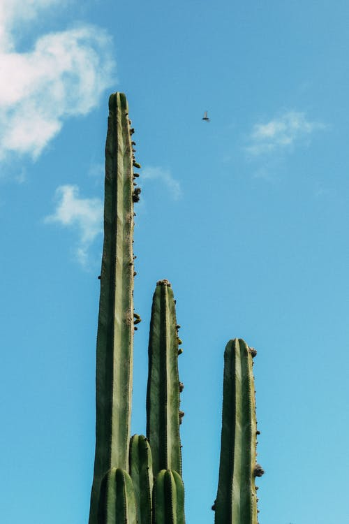 Pure tropical cactus with low number of spikes in desert under blue sky with clouds