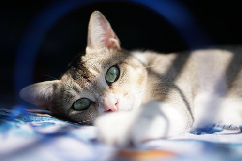 Close-Up Shot of a Tabby Cat Lying Down