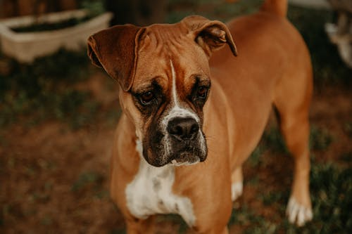 Close-Up Shot of a Boxer Dog Standing