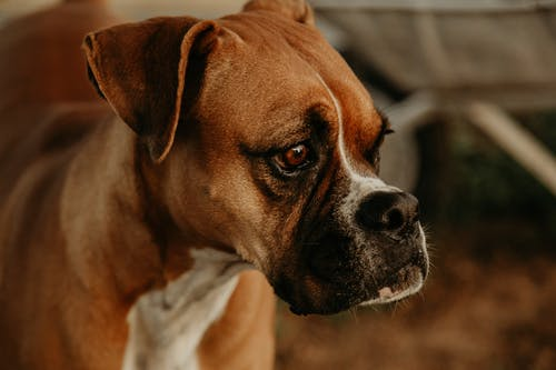Close-Up Shot of a Boxer Dog