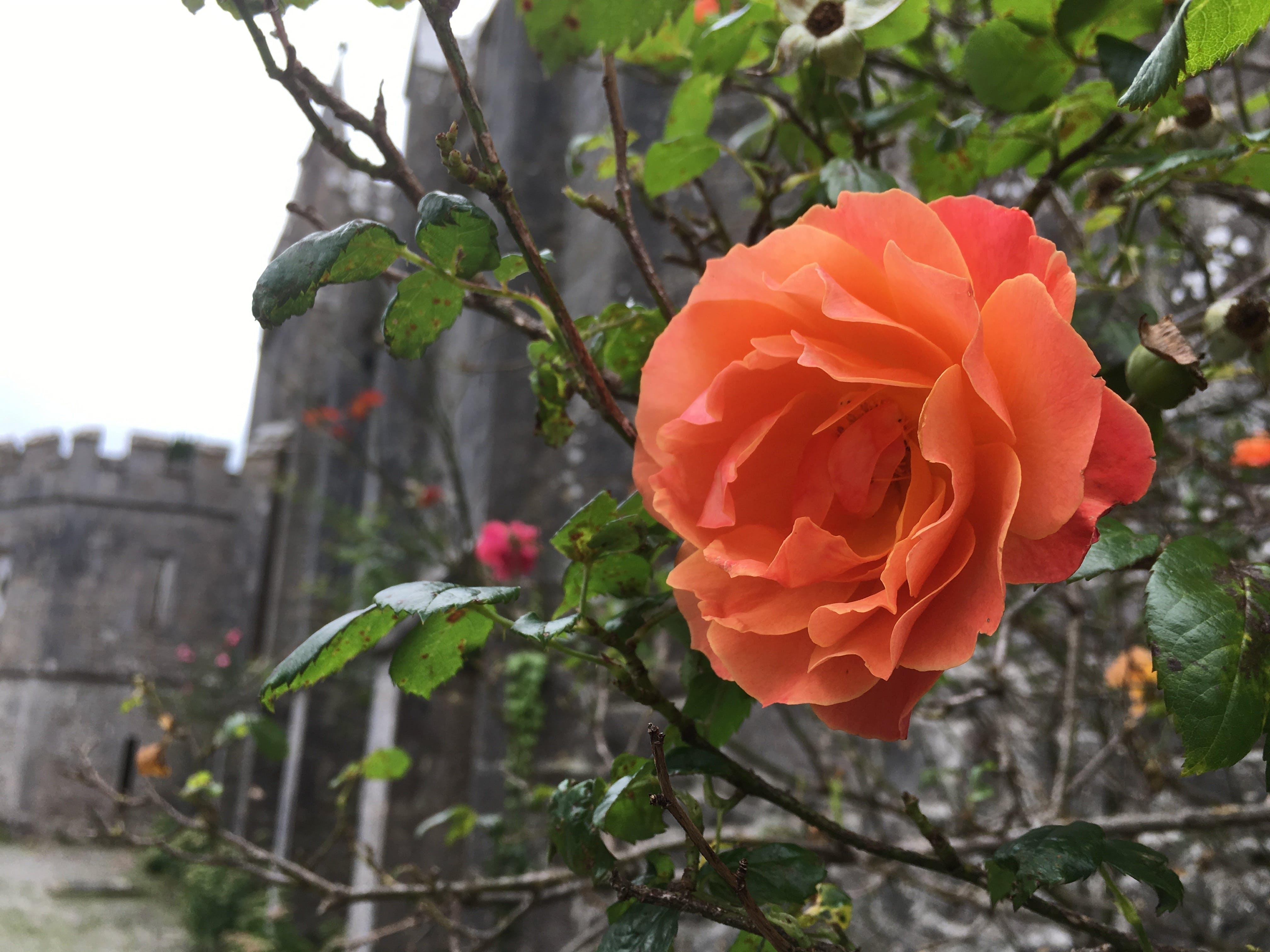 Free stock photo of castle, flower, flowers, leaves