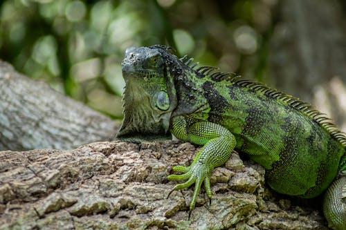 Green and Black Iguana