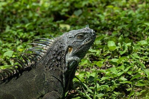 Gray Iguana on the Grass