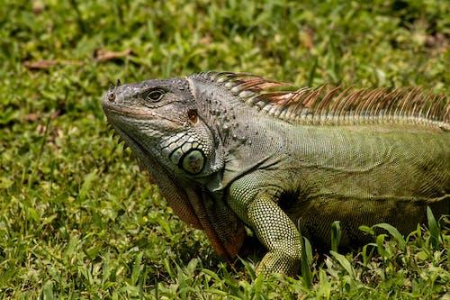 Iguana on the Grass