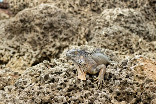 Gray and Brown Iguana on Brown Rock
