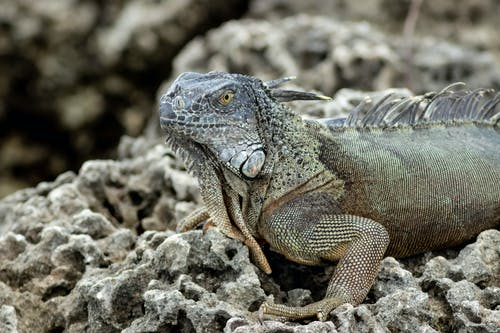 Close Up Shot of  an Iguana