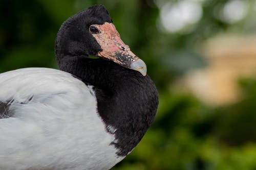 Black and White Duck in Close Up Photography