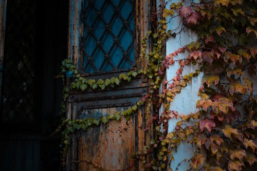 Shabby old metal door covered with ivy