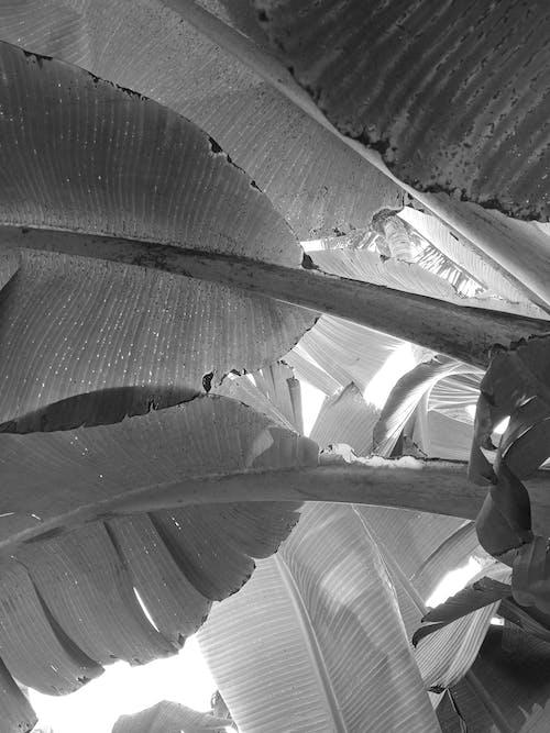 Free stock photo of art, banana leaf, Big leaf, black & white