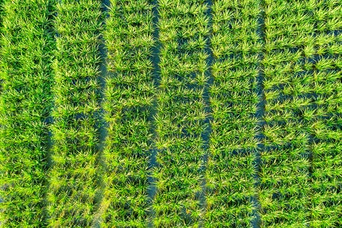 Aerial view of textured backdrop representing colorful agricultural green field with straight furrows on farmland in summer
