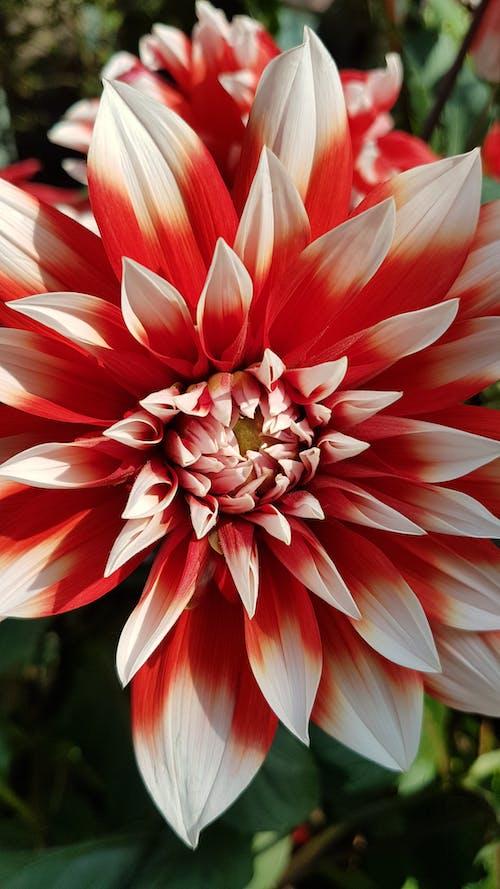 A Close-Up Shot of a Dahlia Flower