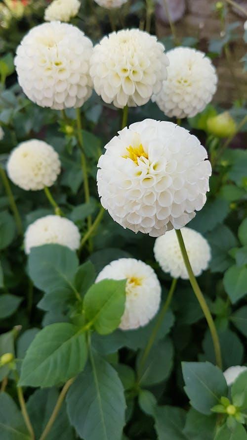 A Close-Up Shot of a Dahlia White Pom Pom Flowers