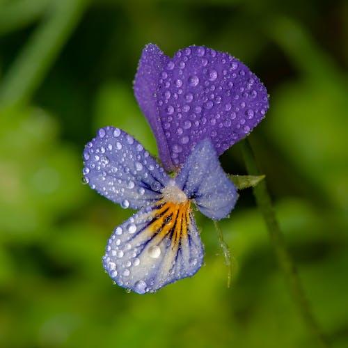 Ảnh lưu trữ miễn phí về cận cảnh, cánh hoa, chi viola, hệ thực vật