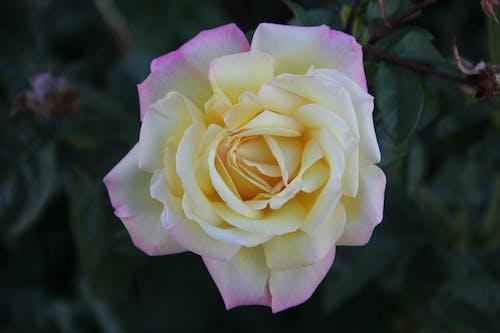 คลังภาพถ่ายฟรี ของ ดอกกุหลาบ, ต้นไม้, พฤกษา, เบ่งบาน