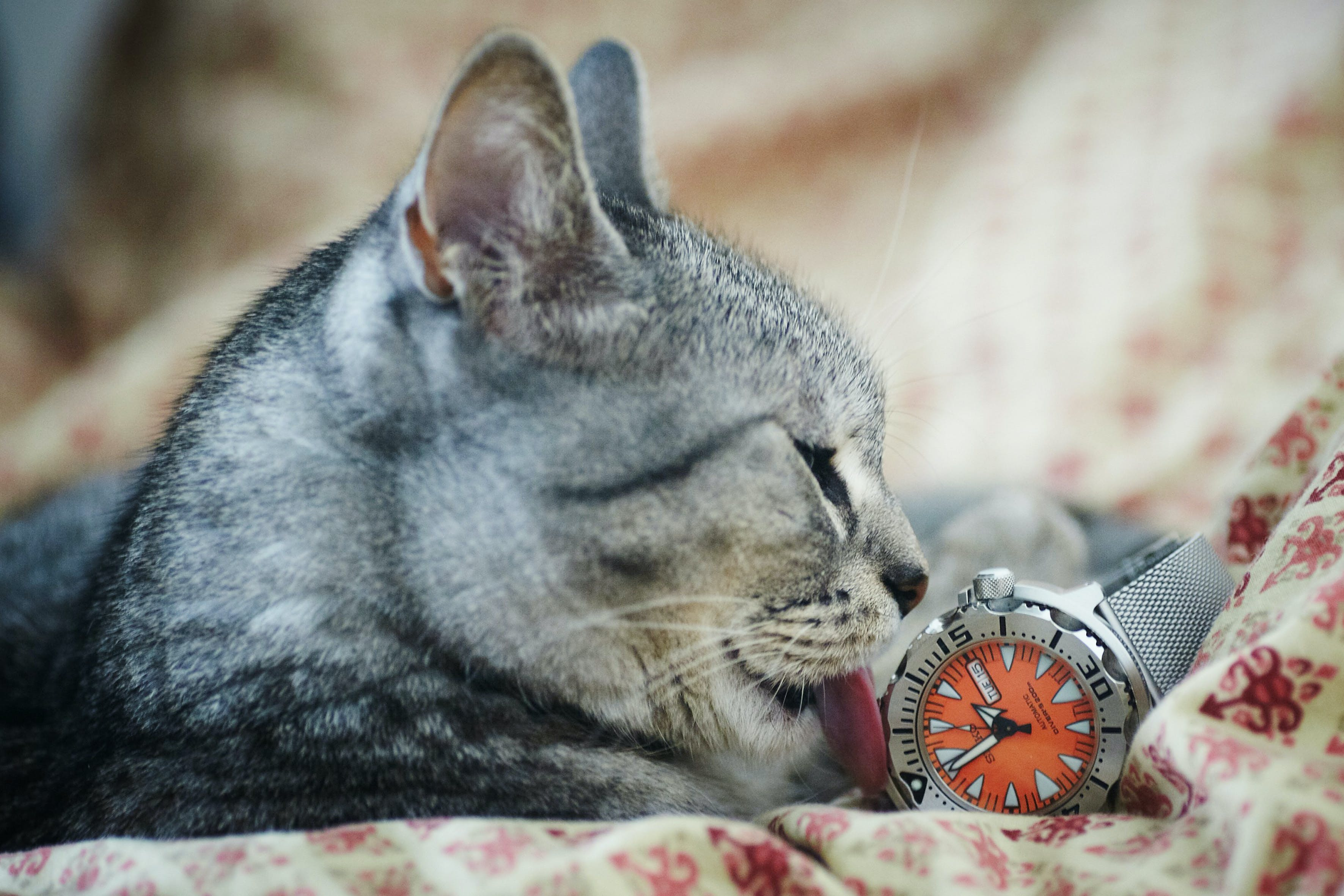 Gray and Black Tabby Cat Licking Gray Watch