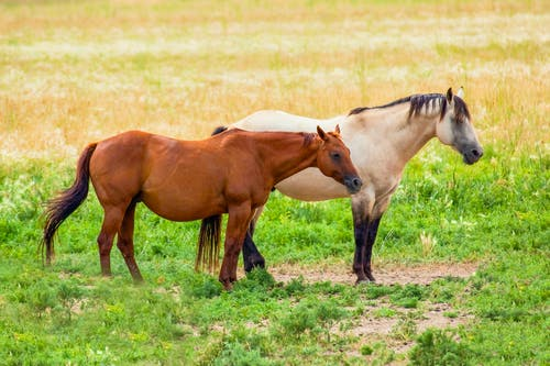 Two Horses on a Grassland
