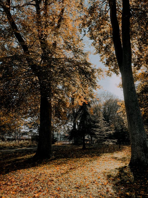 Trees covered with autumnal leaves in park