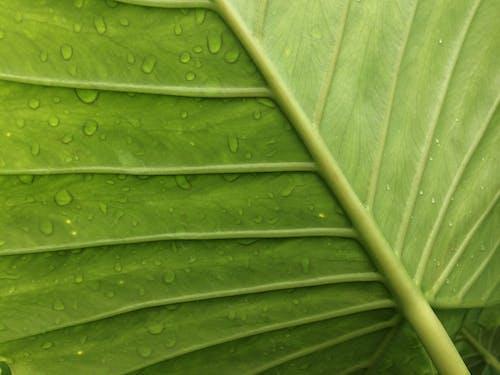 Foto d'estoc gratuïta de taro leaf