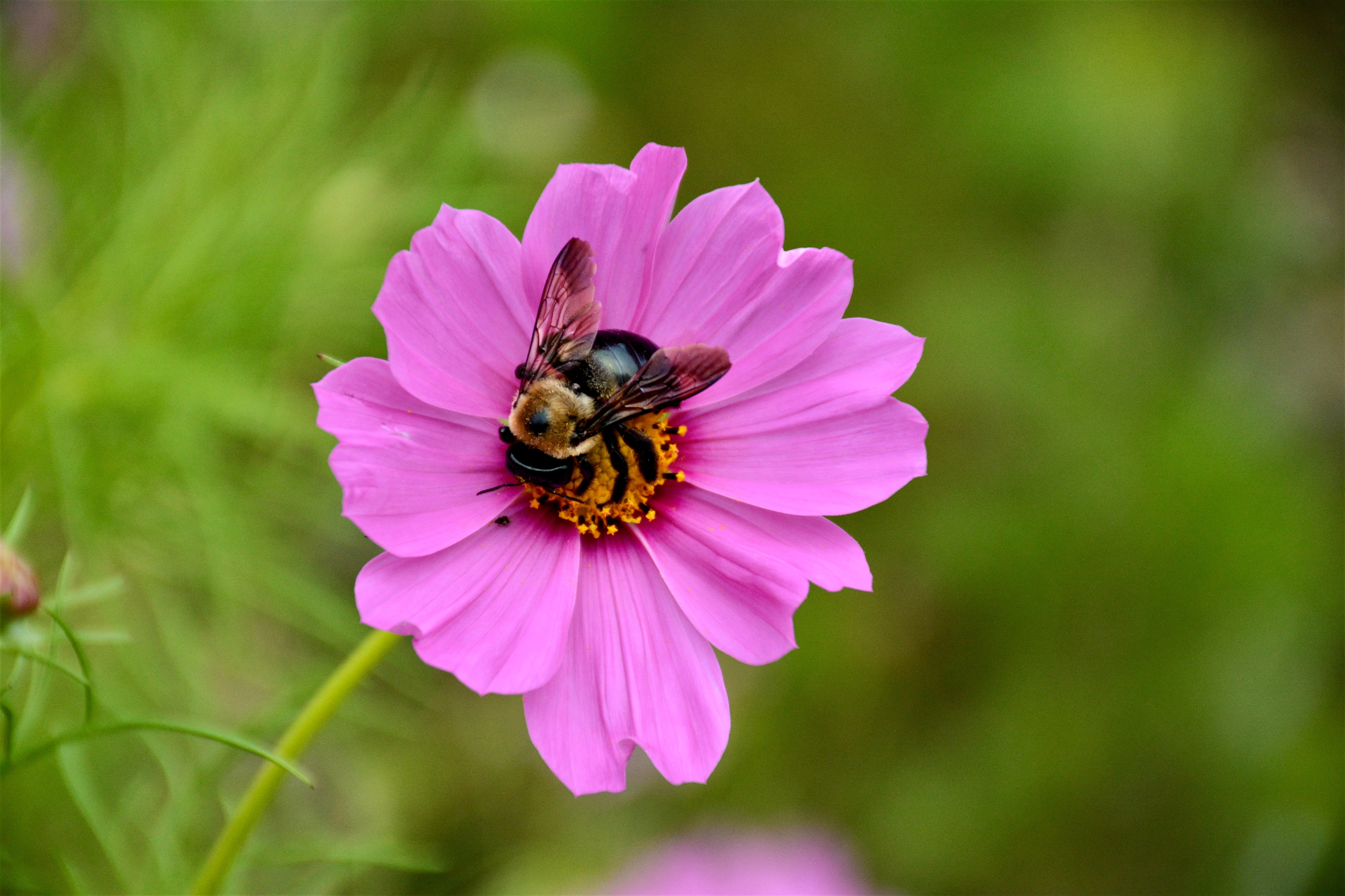 Shallow Focus Photography of Bee on Pink Flower