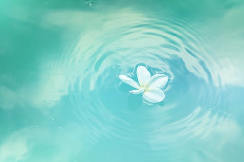 White Plumeria Flower on Water