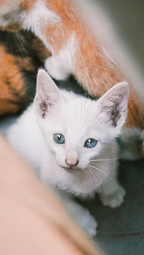 White and Brown Cat on Persons Hand