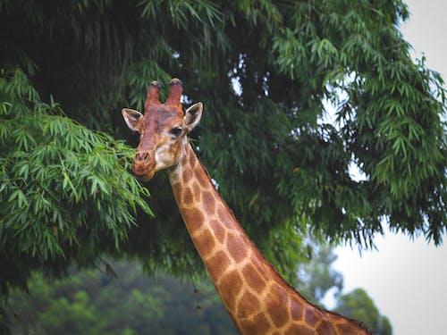 Giraffe eating lush green tree leaves in zoological garden