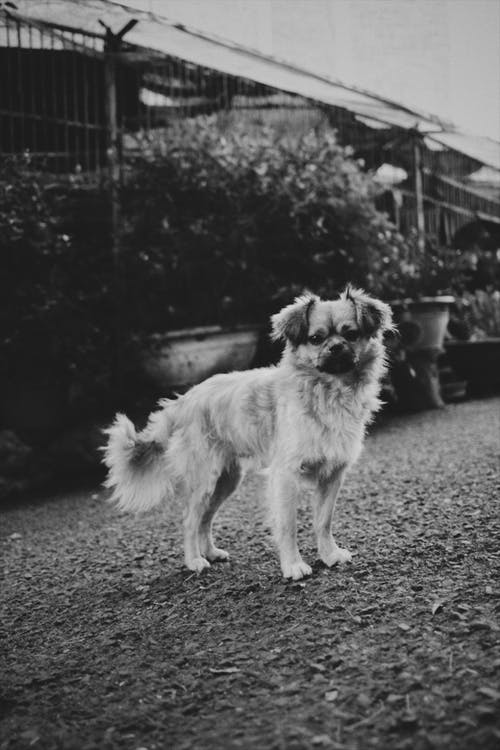 Black and white of small purebred Tibetan Spaniel dog standing in street near plants in daytime and looking at camera