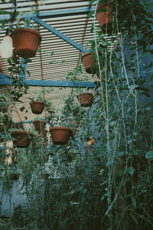 Green plants hanging and growing in pots in light greenhouse with lamps in daytime