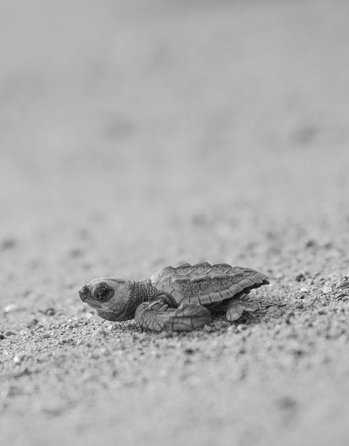 Black and side view of tiny turtle crawling on sandy shore in natural environment
