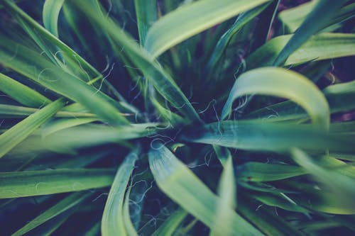 Immagine gratuita di impianto, natura, verde, yucca
