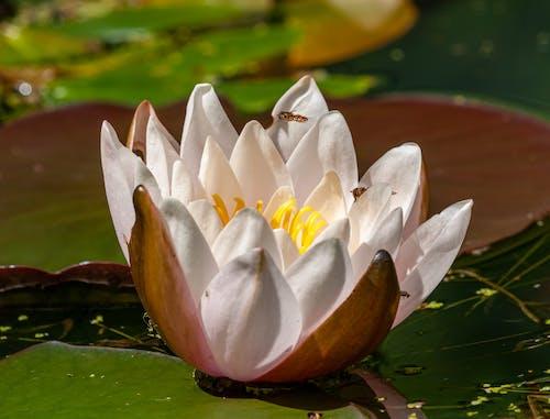 Photos gratuites de aquatique, centrale, fleur