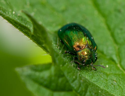 Green Beetle On Green Leaf In Close Up Photography