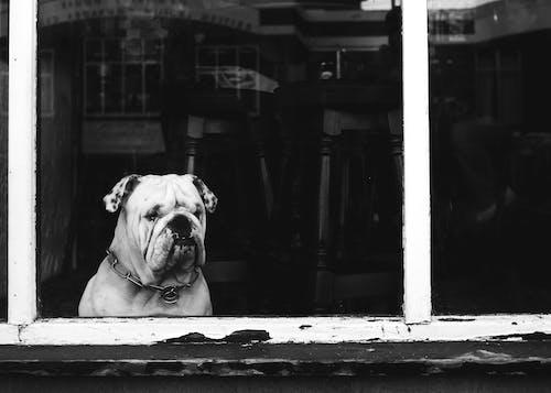 Grayscale Photo of White English Bulldog Sitting By The Window