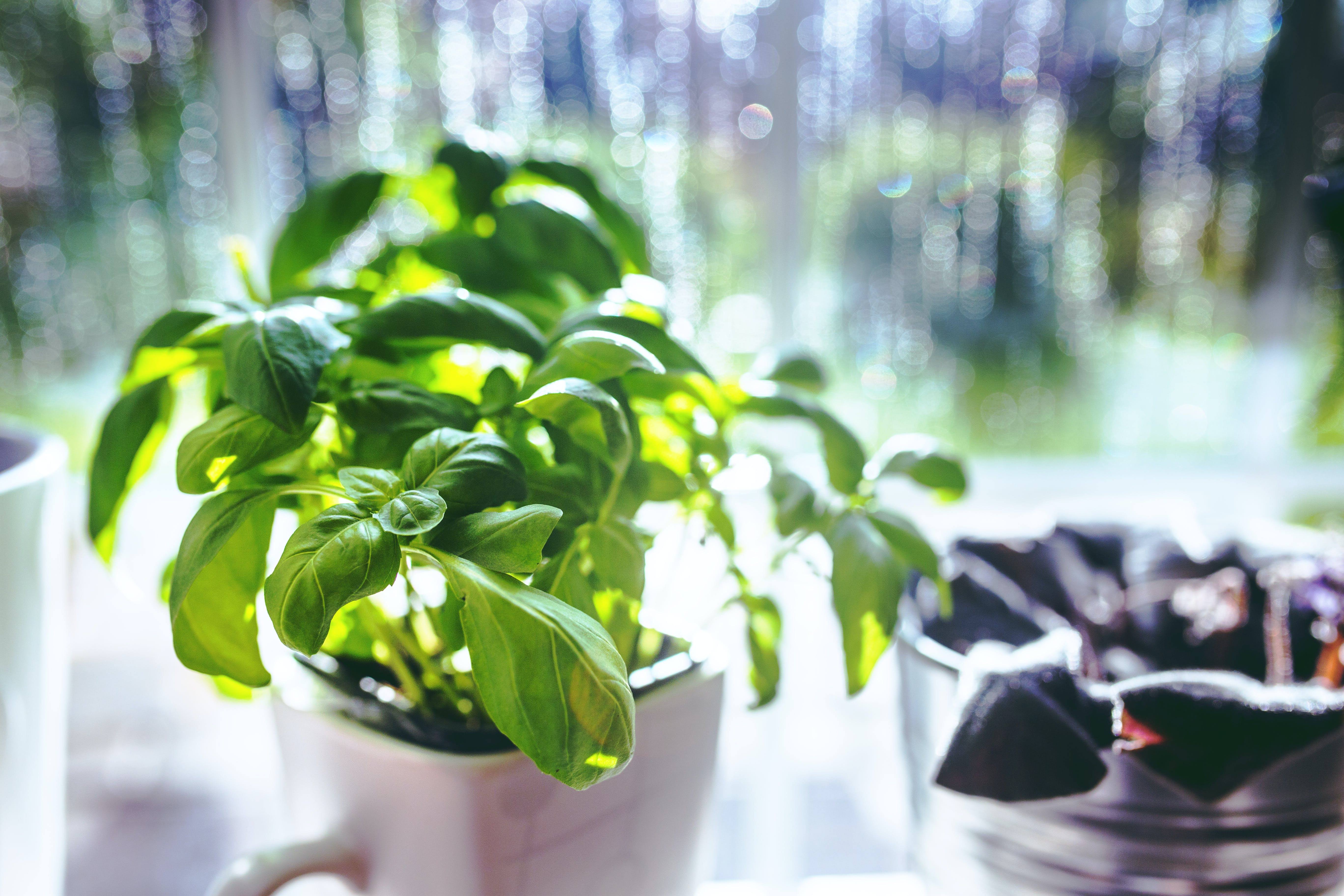 Basil in the cup