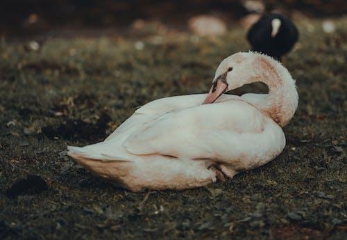 動物, 天鵝, 水禽 的 免费素材图片