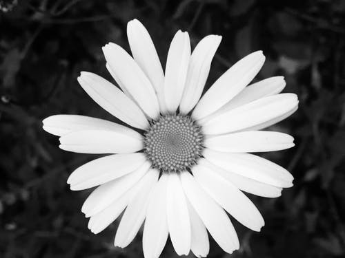 Free stock photo of Black and white flower, daisy, Daisy b and w, flower