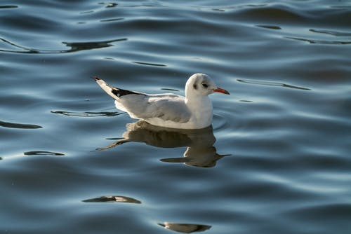Seagull floating on rippling sea