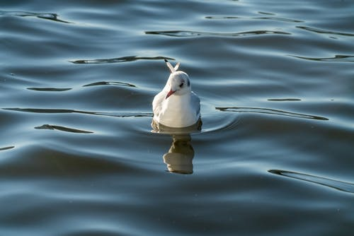 Seagull swimming on rippling sea