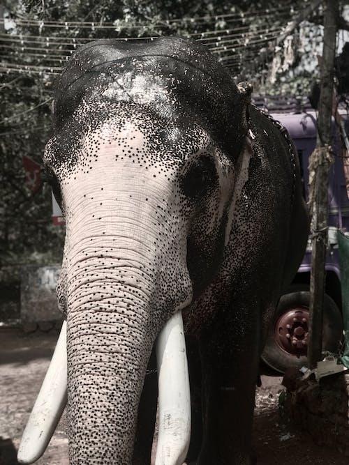 Free stock photo of animal head, asian elephant, black amp white